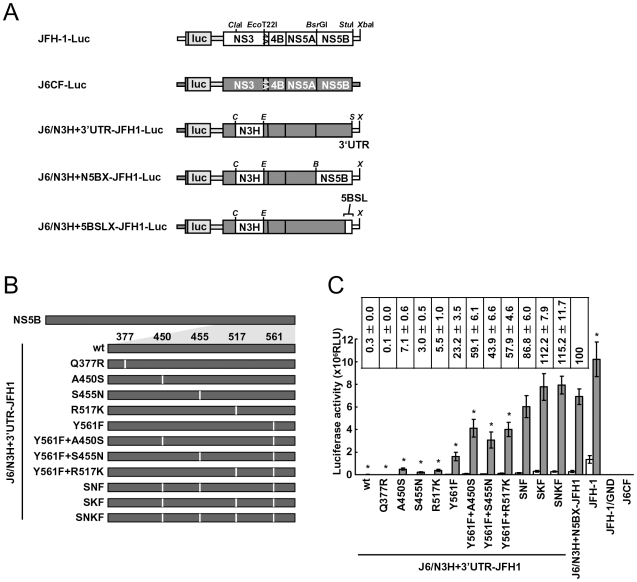 Luciferase activity of J6CF backbone replicons containing substitutions in the NS5B region. (A) Schematic structures of wt JFH-1 and J6CF constructs and the chimeric subgenomic replicons containing a J6CF backbone. The restriction enzyme recognition sites used for the construction of plasmids are indicated. C , Cla I; E , Eco T22I; B , Bsr GI; S , Stu I; X , Xba I; wt, wild-type. (B) Schematic diagram of the mutations introduced into J6/N3H+3′UTR-JFH1-Luc and J6/N3H+3′UTR-JFH1. (C) Replication activity of J6CF-based replicons. Subgenomic RNA was synthesized in vitro from wild-type or chimeric replicon constructs. Transcribed subgenomic RNA (5 µg) was then electroporated into HuH-7 cells and the cells harvested at 4, 24, and 48 h after transfection. The harvested cells were lysed, and the luciferase activity in the cell lysates was measured. The assays were performed three times independently and the results expressed as luciferase activities (RLU). Each value was corrected for transfection efficiency as determined by measuring the luciferase activity 4 h after transfection. Data are presented as the mean ± standard deviation for luciferase activity at 24 h (white bars) and 48 h (gray bars) after transfection. Asterisks indicate significant differences relative to the replication activity of J6/N3H+N5BX-JFH1 (p