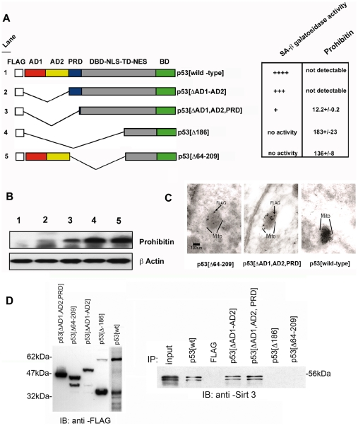 Deletion of p53 identifies the novel mitochrondria -associated senescence domain (MASD) between amino acids 64 and 209 of p53. ( A ) Various deletions of FLAG –tagged p53 were used to determine involvement in mitochrondria –associated senescence programs in EJ-p53 cells. The following abbreviations were used to characterize individual domains within p53 as, AD1, activation domain 1; AD2, activation domain 2; PRD, proline rich domain; DBD-NLS-TD-NES, combined DNA binding domain-nuclear localization signal-transactivation domain-nuclear export signal; BD, basic domain. Following the transient transfection of individual p53 constructs into the uninduced EJ-p53 cells, expression of p53 protein levels were normalized versus cell number to measure the level of SA -β galactosidase activity by staining with Xgal. ELISA analysis was then performed using antisera against human prohibitin (Research Diagnostics, Inc.). Colormetric analysis was then used to measure the amount of SA-β galactosidase activity ELISA was performed to measure prohibitin levels (fg/ml lysate) and normalized by the amount of immunoprecipitated FLAG-tagged p53 protein used as input from the ELISA assay. ( B ) <t>Immunoblot</t> analysis was then performed with anti –prohibitin nitrocellulose filter was reused to immunoblot with an anti- β actin polyclonal antisera (Sigma-Aldrich). ( C ) Electron micrograph (10,000X) of EJ carcinoma cells transfected with the different FLAG-tagged and truncated variants of human p53 and stained with the anti-FLAG monoclonal antibody (Sigma-Aldrich). Region corresponding to the outline of the mitochrondria is indicated. ( D ) Interaction of Sirt3 with the MASD region of p53. Using FLAG-tagged variants of the deleted p53 cDNAs expressed by transient transfections of p53 shown (left) were used to identify specific interactions with endogenous Sirt3 by immunoprecipitation with M2 agarose (Sigma-Aldrich) followed by standard immunoblotting protocols.