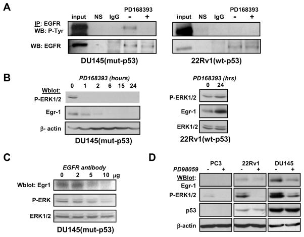 Constitutive activation of EGFR and ERK1/2 regulates Egr-1 expression (Panel A) DU145 and 22Rv1 cells were treated with PD168393 (2 μM) for 2 hrs. Cells were lysed and subjected to immunoprecipitation using anti-EGFR antibodies. Buffer alone (NS) or non-specific immunoglobulins (IgG) were negative controls. Whole cell lysates were loaded for positive control (input). (Panel B) DU145 (left) were treated with EGFR inhibitor PD168393 at 2 μM for the indicated times. 22Rv1 (right) were treated with PD168393 at 2 μM for 24 hrs. (Panel C) DU145 were incubated with increasing amounts of neutralizing anti-EGFR antibodies for 24 hours before lysis. (Panel D) Cells were treated with MEK inhibitor PD98059 for 2 hrs before lysis. All experiments were analyzed by western blot using the indicated antibodies. Actin or pan-ERK1 antibodies were used for loading controls. P-ERK: anti-phospho-ERK1/2; P-Tyr: anti-phospho-tyrosine.