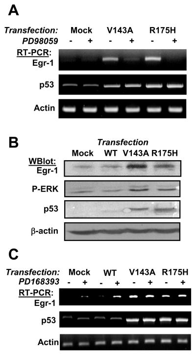 Egr-1 transcription induced by mutant p53 is mediated by MEK/ERK signaling (panel A) 22Rv1cells were mock-transfected or transfected with p53-V143A or p53-R175H. 72 hours later, cells were incubated with PD98059 for 4 hours. Total RNA was purified and mRNA levels were analyzed by RT-PCR. (panel B) 22Rv1cells were mock-transfected or transfected with wt-p53, p53-V143A or p53-R175H. 72 hours later, cells were lysed and analyzed by western blot. (panel C) The experiment was performed as in panel A except that EGFR inhibitor was added for 24 hours before RNA purification.
