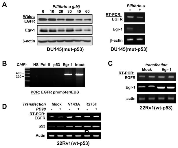 p53 regulates the expression of EGFR (Panel A, left) DU145 cells were treated with Pifithrin-α at the indicated concentrations for 16 hrs before cell lysis. Results were analyzed by western blot using the indicated antibodies. (Panel A, right) Cells were treated with pifithrin-α (50 μM) for 24 hours. RNA was purified and analyzed by RT-PCR followed by agarose gel electrophoresis. (Panel B) ChIP assay: DU145 were grown under normal conditions before being fixed with para-formaldehyde and submitted to ChIP. Non-specific IgG (NS) were used as a negative control. Antibodies against Polymerase II, p53 and Egr-1 were used to capture the protein-DNA complexes. Genomic DNA was used as input. The EGFR promoter was amplified by PCR and analyzed by agarose electrophoresis. (Panel C) Cells were transfected with expression plasmid pCMV-Egr1 or with the transfection reagent alone (Mock). RNA was purified 72 hrs later and analyzed by RT-PCR. Duplicates are shown. (Panel D) The experiment was performed as described in figure 6A . Controls showing p53 and actin mRNA are the same as in figure 6A .