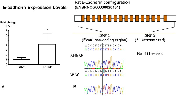 Altered E-cadherin expression. (A) Taqman gene expression analysis of RNA extracted from the hearts of 12-week old SHRSP and WKY animals. Data shows a significant increase in expression of E-cadherin in the SHRSP group and is shown as relative fold change ( n = 6). (B) Genome organisation of E-cadherin. Sequence analysis identified a nucleotide change for SNP1 located in the non-coding region of exon 1.