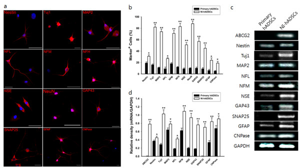 Analysis of cell type-specific markers in NI-hADSCs . Human ADSCs were induced to differentiate into neural cells in the presence of bFGF and forskolin over two weeks. a , Fluorescent immunocytochemistry revealed that the expression of nestin, Tuj1, MAP2, NFL, NFM, NFH, NSE, NeuN, GAP43, SNAP25, GFAP, and CNPase in NI-hADSCs increased more than those of primary hADSCs. Scale bars measure 50 μm. b , Immunocytochemical data depicts the high ratio of NI-hADSCs expression above neuronal markers. The number of positive cells was counted and the ratio of positive cells to nuclei was analyzed for each antigen (n = 7). c and d , RT-PCR analysis demonstrated increased mRNA expression for ABCG2, nestin, Tuj1, MAP2, NFL, NFM, NSE, GAP43, SNAP25, GFAP and CNPase genes. GAPDH was used as a control. The intensity of each gene was normalized to GAPDH and these results were repeated at least five times. * P