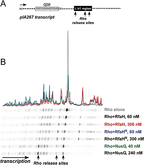 RfaH N effects on Rho-dependent termination. A. Transcript generated on a linear pIA267 DNA template; transcription start site (+1), ops , Rho-dependent RNA release sites and transcript end are indicated. B. Halted, [α- 32 P]-GMP-labelled TECs were formed at 40 nM with E. coli RNAP. Rho, NusG, RfaH or RfaH N were added at indicated concentrations, followed by addition of NTPs and rifapentin. The reactions were incubated for 15 min at 37°C, quenched, and analysed on a 6% denaturing gel. A representative gel and four selected traces for Rho alone (gray), full-length RfaH at 300 nM (red), RfaH N at 60 nM (blue) and NusG at 40 nM (green) are shown.