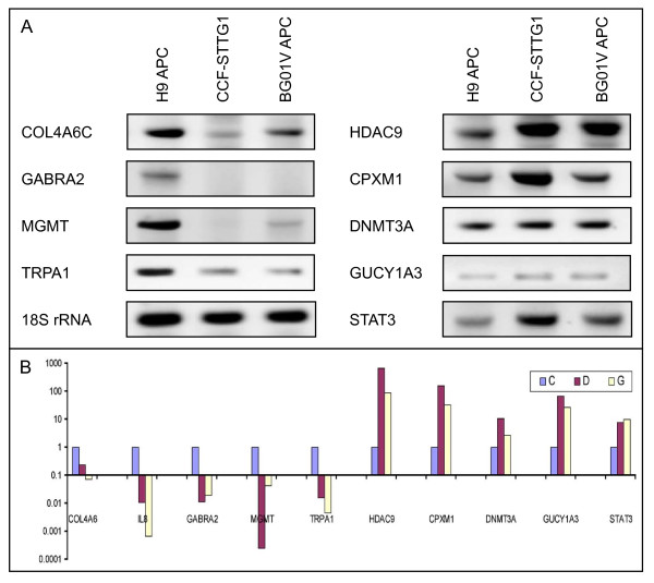 Similarities in expression changes in trisomic APCs and astrocytoma cells were validated by RT-PCR analyses . A. Semi-quantitative RT-PCR analysis shows relative under expression of COL4A6 , GABRA2 , MGMT and TRPA1 (left panels), and over expression of HDAC9 , CPXM1 , DNMT3A, GUCY1A3 and STAT3 (right panels) transcripts in trisomic BG01V APCs and CCF-STTG1 astrocytoma cells with respect to diploid H9 APCs. 18S RNA was used as a control. B. Quantitative RT-PCR validation of relative changes in expression levels of the transcripts shown in panel A in diploid H9 APCs (blue bars), trisomic BG01V APCs (yellow bars) and astrocytoma cells (red bars).