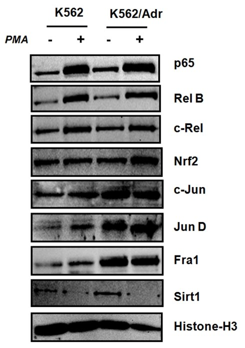 K562 and K562/Adr cells reveal different nuclear regulation of NFκB, AP1, Nrf2 transcription factors and Sirt1 cofactors . K562 and K562/Adr cells were treated with PMA (0.1 μg/ml) for 30 minutes. Nuclear cell lysates were prepared in SDS-Laemmli sample buffer and extracts were analyzed for protein expression levels by Western analysis of NFκB p65, RelB, cRel, Nrf2, AP1 cjun, junD, Fra1, Sirt1, respectively. Comparable protein loading was verified with Histone H3 antibodies.