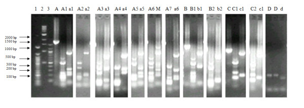 Major merozoite surface protein-3α alleles identified by PCR and digestion with Alu I and Hha I restriction enzymes in the Plasmodium vivax population from Bannu district, Pakistan . Lane 1 = 50 bp, 2 = 1 Kb, and 3 = 100 bp DNA marker. A, B, C = Undigested PCR products. A1, A2 ... are allele types revealed by digestion of the respective PCR products with Alu I, while a1, a2 ... are the allele types obtained by digestion with Hha I, and M = mixed genotype. Frequencies of these alleles are presented in Table 2.