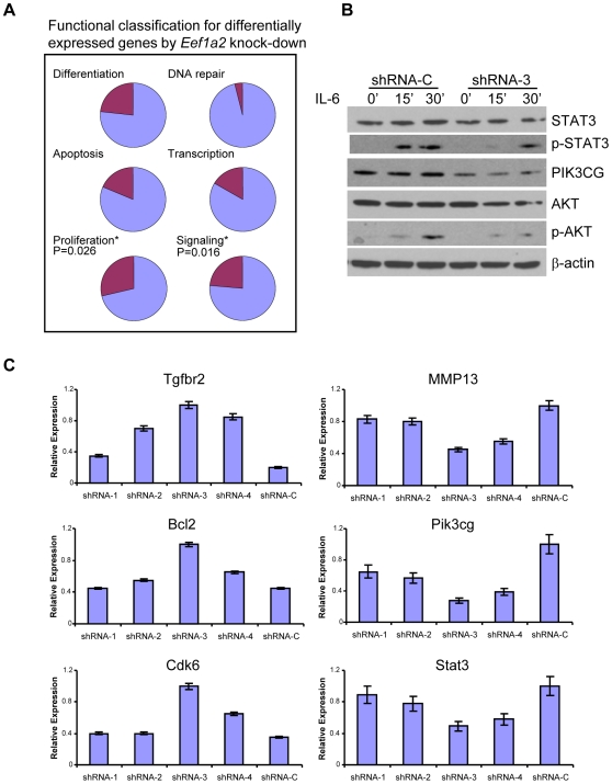 Functional changes after Eef1a2 knockdown. (A) Functional classification of differentially expressed genes by Eef1a2 knockdown cells. (B) Downregulation of Eef1a2 impaired IL-6-induced AKT and STAT3 phosphorylation. Eef1a2 shRNA and control cells were treated with 100 ng/ml recombinant IL-6 and protein samples were prepared 15 and 30 min later. Western blot analyses were performed using the indicated antibodies. ( C ) qPCR analyses of gene expression levels in transiently transfected shRNAs in PCT-AP cell line with four plasmids expressing specifically targeting Eef1a2 (shRNA-1,2,3,4) and a control plasmid (shRNA-C). Error bar = ± S.E.