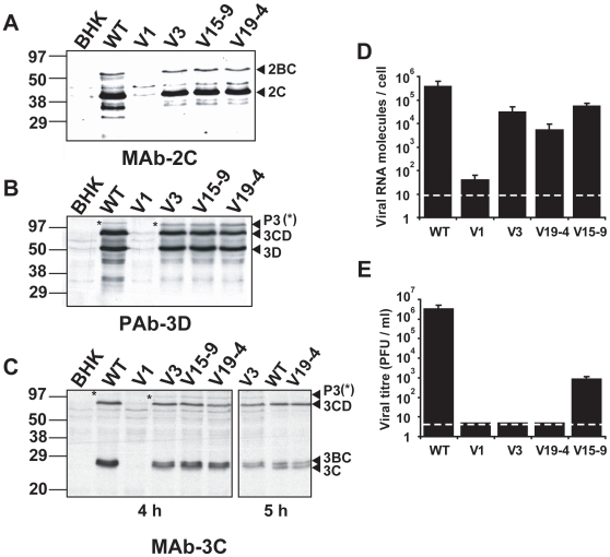 Replication of mutant FMDVs in BHK–21 cells. A–C , Western blot assays for the specific detection of FMDV proteins using monoclonal antibody (MAb) 1C8 specific for 2C (panel A), a polyclonal antibody (PAb) specific for 3D (panel B), and MAb 2D2 specific for 3C (panel C). A total of 10 6 BHK–21 cells were mock–electroporated (BHK lane) or electroporated with either 2 µg of WT RNA or 8 µg of the mutant transcript indicated in each lane. A 4–fold excess of transcript from mutant plasmids was required to reach a comparable level of viral proteins for WT and mutant RNAs. At 4 hours post–electroporation cells were collected in lysis buffer, subjected to SDS–PAGE, and then transferred to a nitrocellulose membrane. The MAbs and the PAb have been previously described [62] . Molecular size markers were run in parallel and their position is indicated on the left. The positions of viral proteins 2BC, 2C, P3, 3CD, 3BC and 3C, determined with specific MAbs, are indicated [62] . Note that precursor P3 (3ABCD, highlighted with an asterisk) displayed a higher mobility than WT in all the mutant transcripts, consistent with a decrease of the number of VPg copies. The right panel in C, (lanes V3, WT and V19–4) correspond to the analysis of cells collected at 5 h instead of 4 h post–transfection, and is included here because of easier band identification. D , Average number of viral RNA molecules per cell (quantitated both inside the cells and in the culture medium) at 72 hours post–transfection of 2×10 6 BHK–21 cells with 100 ng of the indicated RNA transcripts. The cells and supernatants were harvested at 72 hours post–transfection, and the number of genomic RNA molecules was calculated by quantitative real–time RT–PCR, as described in Materials and Methods (limit of detection 8 viral RNA molecules/cell, indicated as a dashed line). E , Viral titre (PFU/ml) in the transfected cultures (both the supernatant and cells subjected to freeze–thawing) described in D. Plaque assays were perfo