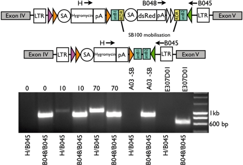 PCR analysis of SB100 transfected exchange clone to determine mobilization of IR/DR flanked cassette. Genomic DNA of pooled SB100 transfected dishes (0, 10 and 70-µg SB100 plasmid) of exchange clone A03 (E307D01/pExFLP-dsRed derivative) was screened with primers located 5′ of the F3 site (B045), in the pA of dsRed (B048) and in the hygromycin-resistance cassette (H). DNA was screened with either primer combination H/B045 or B048/B045, as controls genomic DNA of clone A03 (A03 −SB) and E307D01 was used. Primers H/B045 yielded a 1-kb product after successful excision of the IR/DR flanked cassette. Without mobilization, a 839-bp band was amplified by primers B048/B045, whereas the original gene trap insertion led to a 631-bp band.