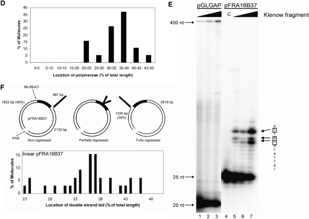 FRA16B DNA synthesis by Klenow fragment of E. coli DNA polymerase I. ( A ) Construction of replication fork templates to examine fork regression. Plasmids containing FRA16B clone 17 fragment (pFRA16B37, Supplementary Figure S1 ) or a G-less cassette (pGLGAP) were constructed, nicked with Nb.BbvCI at a site immediately upstream of the inserts (bold), and incubated with Klenow fragment to generate a single-strand tail by strand displacement. The single-strand tail was converted into a double-strand tail by annealing a complimentary oligonucleotide at the 3′ end of the displaced strand and further incubation with Klenow fragment. To map the location of the double-strand tail, plasmids were linearized so measurements of the two asymmetrical tails could be obtained to determine the amount of fork regression. ( B ) Classification of circular DNA molecules after Klenow fragment reaction by EM. After the second Klenow reaction to create a double-strand tail, reaction mixtures were directly mounted onto carbon-coated copper EM grids and rotary shadowcasted with tungsten. At least 100 molecules from each sample were examined to determine the percentage of molecules with tails, protein-bound, or without a tail. ( C ) Visualization of circular and linear pGLGAP and pFRA16B37 DNAs after synthesis reaction with Klenow fragment. Representative images were montaged and are shown in reverse contrast. ( D ) Location of bound polymerases within FRA16B replication fork templates. The location of the polymerase as a percentage of the total length is plotted as a histogram for all FRA16B molecules that displayed bound polymerase and did not contain a double-stranded tail. The FRA16B fragment is located at 33–50% of the total length from the nearest end. ( E ) Analysis of DNA polymerase pause sites during lagging strand DNA synthesis. Radiolabeled oligomers were annealed to the displaced lagging strand of pGLGAP (lanes 1–3) and pFRA16B37 (lanes 5–7) replication fork templates, and synthes