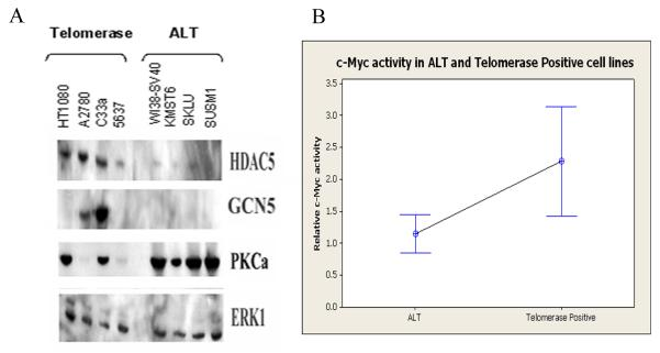 The TERT regulatory network is shown at the protein level and predicted c-MYC activity is confirmed as significantly lower in ALT. (a) Western blotting shows protein level differences in 3 molecules of the 297 gene network. 15 μg of cell extracts were run on NuPAGE 4-12% Bis-Tris gels, transferred to Millipore nitrocellulose membrane and probed with appropriate antibodies. Blots were then stripped and reprobed with ERK1 loading control. Panels shown are representative panels of 2 separate blots. (b) c-Myc activity ELISA shows significantly lower activity in ALT cells. Interval plot shows the average of 6 ALT cell lines (WI38-SV40, KMST6, SKLU, SUSM1, SAOS and U2OS) and 4 telomerase cell lines (A2780, C33a, HT1080 and 5637) on 3 separate occasions with 4 replicates of each cell line. Crosshairs show mean expression for each group and error bars show 95% confidence intervals of the mean. T-test of the results were T-Value = −2.51 P-Value = 0.015 DF = 51.