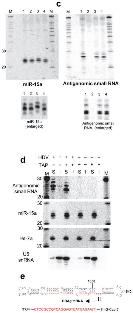 The antigenomic HDV small RNA is 2′-3′ hydroxylated and has an mRNA-like 5′ cap (Northern Blot, 293 cells, RNA induction). ( a ) 3′ end by β-elimination. The mobility of the HDV small RNA is increased following β-elimination. miR-15a: 2′-3′ hydroxylated positive control; +β: +β-elimination; -β: untreated RNA. ( b ) 5′ end by enzymatic analysis. 1: mock-treated (+HDV); 2: mock-treated (no HDV); 3: PNK (+HDV); 4: Decapping enzyme (TAP; +HDV); 5: T4 RNA Ligase (+HDV); 6: Terminator Exonuclease (+HDV). The size of the HDV small RNA was estimated to be ∼24nt based on the largely 22nt, 5′ phosphorylated miR15-a shown in the inset (IS). ( c ) Confirmation that the 5′ end of the HDV small RNA is capped, not triphosphorylated (enlarged image to emphasize changes in gel mobility for miR-15a, but not HDV small RNA). 1: mock-treated (+HDV); 2: mock-treated (no HDV); 3: Antarctic Phosphatase (+HDV); 4: Antarctic Phosphatase followed by T4 PNK (+HDV). ( d ) RNA immunoprecipitation with anti-2,2,7-trimethylguanosine antibody K121. The immunoprecipitation efficiency of the HDV small RNA, U5 snRNA (positive control) and microRNAs miR-15a and let-7a (negative controls) was analysed by Northern blot. 'S': supernatant; 'I': IP fraction. ( e ) Predicted structure of the HDV small RNA. The various RNAs in a - d were detected after stripping and rehybridisation to the same blot. M: RNA marker.