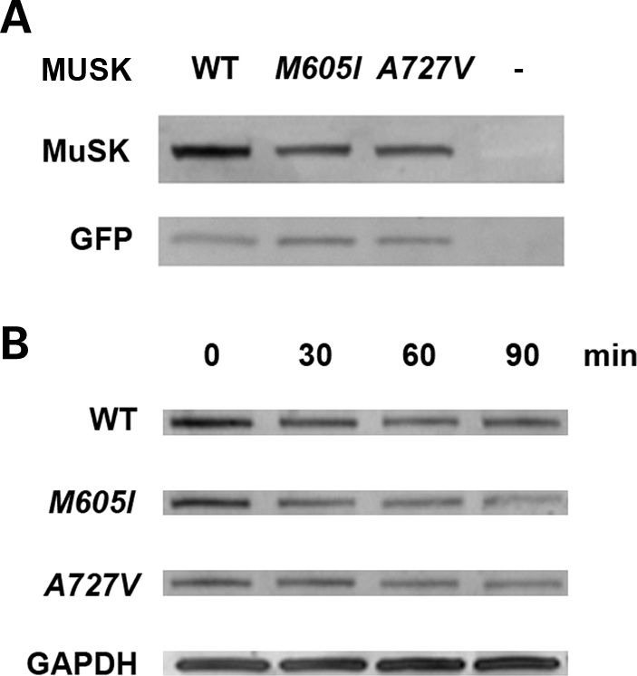 Expression and stability of MuSK mutants in HEK 293 cells. ( A ) A western blot analysis in cells co-transfected with WT or MUSK mutants and GFP using a polyclonal anti-MuSK goat antibody demonstrates reduced expression of MuSK in cells transfected with M605I and A727V in comparison with cells transfected with the WT construct (82% of WT for M605I and 87% of WT for A727V ). The expression of GFP, tested with an anti-GFP polyclonal rabbit antibody, was similar in cells transfected with WT and MUSK mutants. ( B ) Analysis conducted in cells exposed to cycloheximide at set times intervals: 0, 30, 60 and 90 min, 36 h after transfection with WT or MUSK mutants revealed decreased expression of MuSK in cells transfected with the mutants compared with cells transfected with the WT construct. At time 0, expression of M605 I was 87%, whereas A727V was 63% compared with WT. However, there were no major differences in the rate of degradation of MuSK in cells transfected with WT or MUSK mutant constructs. Expression of GAPDH detected with an anti-GAPDH monoclonal antibody showed no reduction of GAPDH expression in all the samples.