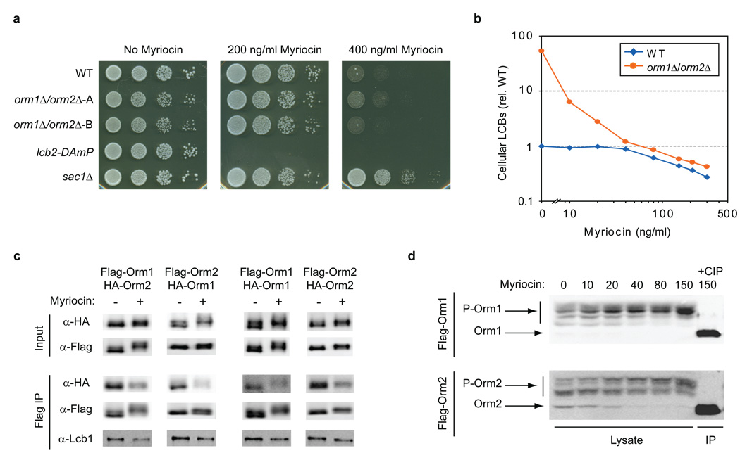 Orm1/2 are regulated in response to disruption of sphingolipid synthesis a , Serial dilutions of the indicated strains were spotted on plates with 0, 200, or 400 ng/ml myriocin and imaged after growth for 24–48 hr. b , LCBs were extracted and analyzed from wild-type (WT) and ORM1/2 deletion strains grown in media supplemented with the indicated concentrations of myriocin. The sums of <t>C18</t> dihydrosphingosine and phytosphingosine peak intensities from n ≥ 2 experiments are shown (relative to wild-type LCB levels in the absence of myriocin). c , Native immunoprecipitations of 3×Flag-tagged Orm1 and Orm2 were performed from strains grown in standard media or media supplemented with 150 ng/ml myriocin and analyzed by Western blot. The indicated strains also expressed 3×HA-Orm1/2 from their endogenous loci (diploid strains were used to examine self-association of Orm1 and Orm2). d , Lysates were prepared from yeast expressing 3×Flag-Orm1/2 after growth in media containing the indicated concentrations of myriocin. Western blots show phosphorylated forms of 3×Flag-Orm1 (P-Orm1) and 3×Flag-Orm2 (P-Orm2) after separation on phosphate-affinity gels 35 . An immunoprecipitated (IP) sample treated with calf intestine phosphatase (CIP) shows the position of un-phosphorylated Orm1/2.