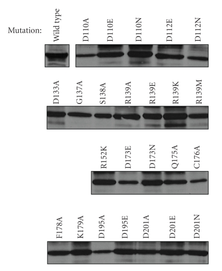 Expression levels of the various versions of CBD-AglD. Hfx. volcanii cells expressing the various AglD mutants considered in this study were grown to OD 550 1.0 and their protein contents were separated on 10% SDS-PAGE. The CBD-AglD content of each strain was subsequently assessed by immunoblot using polyclonal antiCBD antibodies. Antibody binding was detected using <t>HRP-conjugated</t> secondary antibodies and an enhanced chemiluminescence kit.
