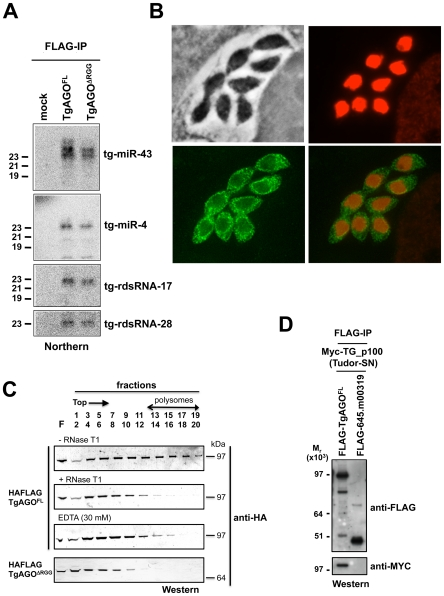 Small RNA loading, sub-cellular localization and polysome association of Tg -AGO. (A) Northern blot analyses of Tg -miRNAs and Tg -rdsRNAs associated with Tg -AGO. Immuno-precipitation using anti-Flag antibody was performed from RH strains expressing ectopically HAFlag-tagged either full-length or delta-RGG truncated Tg -AGO. RNAs isolated from the immunoprecipitates were probed for Tg -miR-4, Tg -miR-43, Tg -rdsRNA-17 and Tg -rdsRNA-28. Mock: non-immune IgG (negative control). (B) Stably expressed recombinant protein HAFlag-TgAGO FL was detected by immunofluorescence assay using an HA antibody (in green) and compared to nuclear localization of acetylated histone H4 (in red). (C) To evaluate the sedimentation characteristics of Tg- AGO complexes, protein extracts containing HAFlag-TgAGO FL or HAFlag-TgAGO DRGG were subjected to sedimentation on 5%–45% sucrose gradients in the presence of cycloheximide (to preserve polyribosomes) or 30 mM EDTA (to disrupt polyribosomes). Aliquots of total extracts, either untreated (-RNase T1) or digested with RNase (+ RNase T1) were centrifuged through sucrose gradients and fractionated as described in Methods . Aliquots (equal volume) from indicated fractions were analyzed by Western blots with antibody against HA tag. (D) HAFlag-TgAGO FL and HAFlag-645.m00319 (negative control) were transiently co-expressed with Myc- Tg -p100 (Tudor/SN). Following Flag affinity purification, the bound proteins were analyzed by Western blot using the anti-HA and the anti-myc antibodies. Molecular weight markers are indicated on the left.