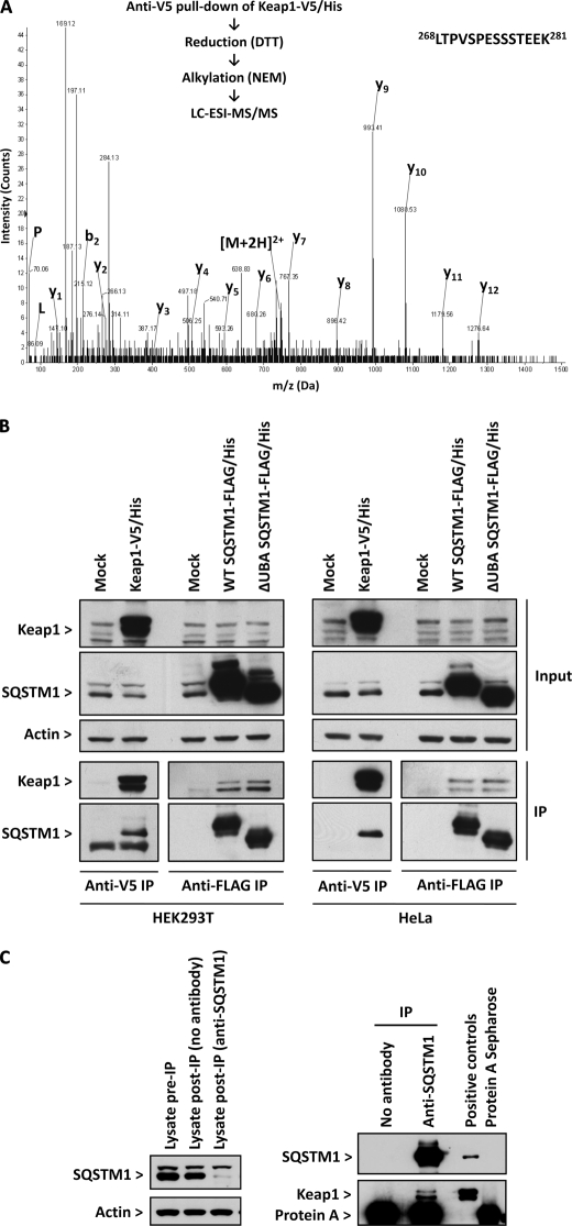 SQSTM1 associates with Keap1 in mammalian cells. A , overview of proteomic approach used to identify SQSTM1 as a binding partner of Keap1. HEK293T cells were transfected with Keap1-V5/His, which was purified, by anti-V5 pulldown, from cell lysates, reduced, alkylated, and digested overnight with trypsin. The resulting tryptic peptides were analyzed by LC-ESI-MS/MS. Proteins present in the immunopurified fraction were identified via reference to the expected masses of their tryptic peptides. The MS/MS spectrum depicts the SQSTM1 peptide 268 LTPVSPESSSTEEK 281 , [M+2H] 2+ = 745.9 atomic mass units. y- and b-ions are labeled where present. Immonium ions are labeled with the one-letter code for their corresponding amino acid. DTT , dithiothreitol; NEM , N -ethylmaleimide. B , Keap1-V5/His or SQSTM1-FLAG/His were ectopically expressed in HEK293T or HeLa cells. Lysates were prepared and incubated with anti-V5 or anti-FLAG antibody-conjugated agarose beads, and immunopurified Keap1 and SQSTM1 were analyzed by Western blotting. Input represents 5% of the total cell material preimmunopurification. β-Actin was probed as a loading control. C , HEK293T cells were lysed and subjected to immunoprecipitation ( IP ) with an anti-SQSTM1 antibody and protein A-conjugated beads. A similar procedure was performed without the anti-SQSTM1 antibody as a control. Lysates and immunoprecipitated proteins were analyzed by Western blotting. Lysates before and after immunoprecipitation represent 5% of the total cell material. Lysates from HEK293T cells in which SQSTM1 and Keap1 had been ectopically expressed were loaded as positive controls. The inherent immunoreactivity of protein A-Sepharose was also determined as a control.
