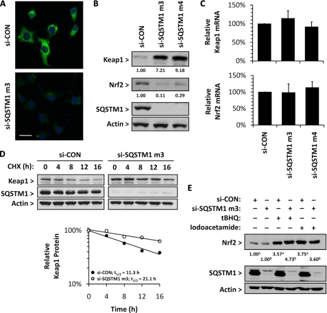 Depletion of SQSTM1 affects the basal protein levels of Keap1 and Nrf2, through a decrease in the rate of degradation of Keap1, but does not compromise the inducibility of Nrf2. Hepa-1c1c7 cells were transfected with a scrambled control siRNA (si-CON) or SQSTM1-targetting siRNA (si-SQSTM1 m3 or m4) for 48 h. A , immunocytochemical analysis of total cellular SQSTM1 ( green ) levels following transfection with si-CON or si-SQSTM1 m3, as visualized by confocal microscopy. Nuclei were counterstained with Hoechst 33258 ( blue ). Each image represents an overlay of SQSTM1 and Hoechst signals. Scale bar , 50 μm. B , Western blot analysis of Keap1, Nrf2, and SQSTM1 in siRNA-transfected cells. Immunoreactive band volumes were quantified by densitometry and expressed relative to β-actin to enable comparison of Keap1 and Nrf2 protein levels in cells transfected with si-CON, which were arbitrarily set at 1.00, and those transfected with si-SQSTM1 m3 or m4. Relative Keap1 and Nrf2 levels are presented beneath the respective blots. C , relative levels of Keap1 and Nrf2 mRNA in siRNA-transfected cells, as determined by real-time RT-PCR using SYBR Green and gene-specific primers. Keap1 and Nrf2 mRNA levels were normalized to GAPDH mRNA levels in the same samples. The mRNA levels in si-SQSTM1-transfected cells are expressed relative to those detected in si-CON-transfected cells. D , siRNA-transfected cells exposed to cycloheximide ( CHX ; 35 μ m ) for the indicated times. Keap1 and SQSTM1 levels were analyzed by Western blotting. Immunoreactive band volumes were quantified by densitometry and expressed relative to β-actin to enable comparison of the Keap1 protein level at 0 h, which was arbitrarily set at 1.00, with that at subsequent time points. Relative levels of Keap1 are presented in the scatterplot. E , Western blot analysis of Nrf2 and SQSTM1 following exposure of siRNA-transfected cells to the Nrf2-activators tert -butylhydroquinone ( tBHQ ) or iodoacetamide (both 50 μ m ) for 1 h. Immunoreactive band volumes were quantified by densitometry and expressed relative to β-actin to enable comparison of Nrf2 protein levels in vehicle-exposed cells transfected with si-CON a or si-SQSTM1 m3 b , which were arbitrarily set at 1.00, and those exposed to tert -butylhydroquinone or iodoacetamide. Relative Nrf2 levels are presented beneath the Nrf2 blot.