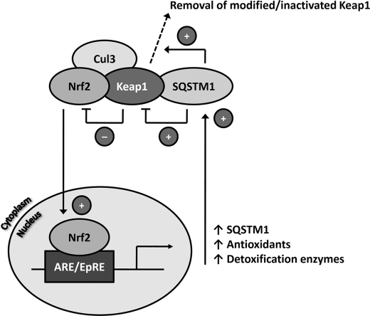 Model for the role of SQSTM1 in regulating the integrity of the Keap1-Nrf2 cell defense pathway. This study has demonstrated that SQSTM1 associates with Keap1 in cells and contributes to the integrity of the Keap1-Nrf2 pathway by regulating the basal levels of Keap1 and Nrf2. Recent work has demonstrated increased levels of Keap1 in autophagy-deficient cells ( 23 ). SQSTM1 expression is itself up-regulated in an Nrf2-dependent manner under conditions of chemical/oxidative stress ( 27 , 28 ), suggesting that SQSTM1 forms part of a regulatory feedback loop in the Keap1-Nrf2 pathway. Under conditions of Nrf2 activation, the elevated expression of SQSTM1 may enable the targeting of Keap1 for degradation via autophagy, which in turn may (i) further contribute to the activation of Nrf2 and/or (ii) represent a means by which modified/inactivated Keap1 is removed/recycled to restore homeostasis in the pathway. ARE/EpRE , antioxidant response element/electrophile response element.
