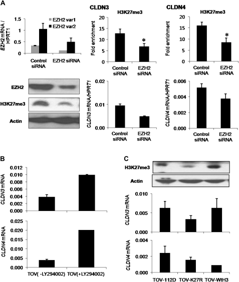 Effect of the loss of H3K27me3 on CLDN3 and CLDN4 expression in ovarian cancer cells. ( A ) Effect of EZH2 knockdown by EZH2 siRNA on CLDN3 and CLDN4 expression. Knockdown of EZH2 transcripts ( EZH2 var1 and EZH2 var2) and the decrease in protein levels of H3K27me3 were assessed in TOV-112D cells 72 h after siRNA treatment (100 nM). The effect of EZH2 knockdown on H3K27me3 enrichment in the CLDN3 and CLDN4 promoters was also evaluated by quantitative ChIP in TOV-112D cells. * P