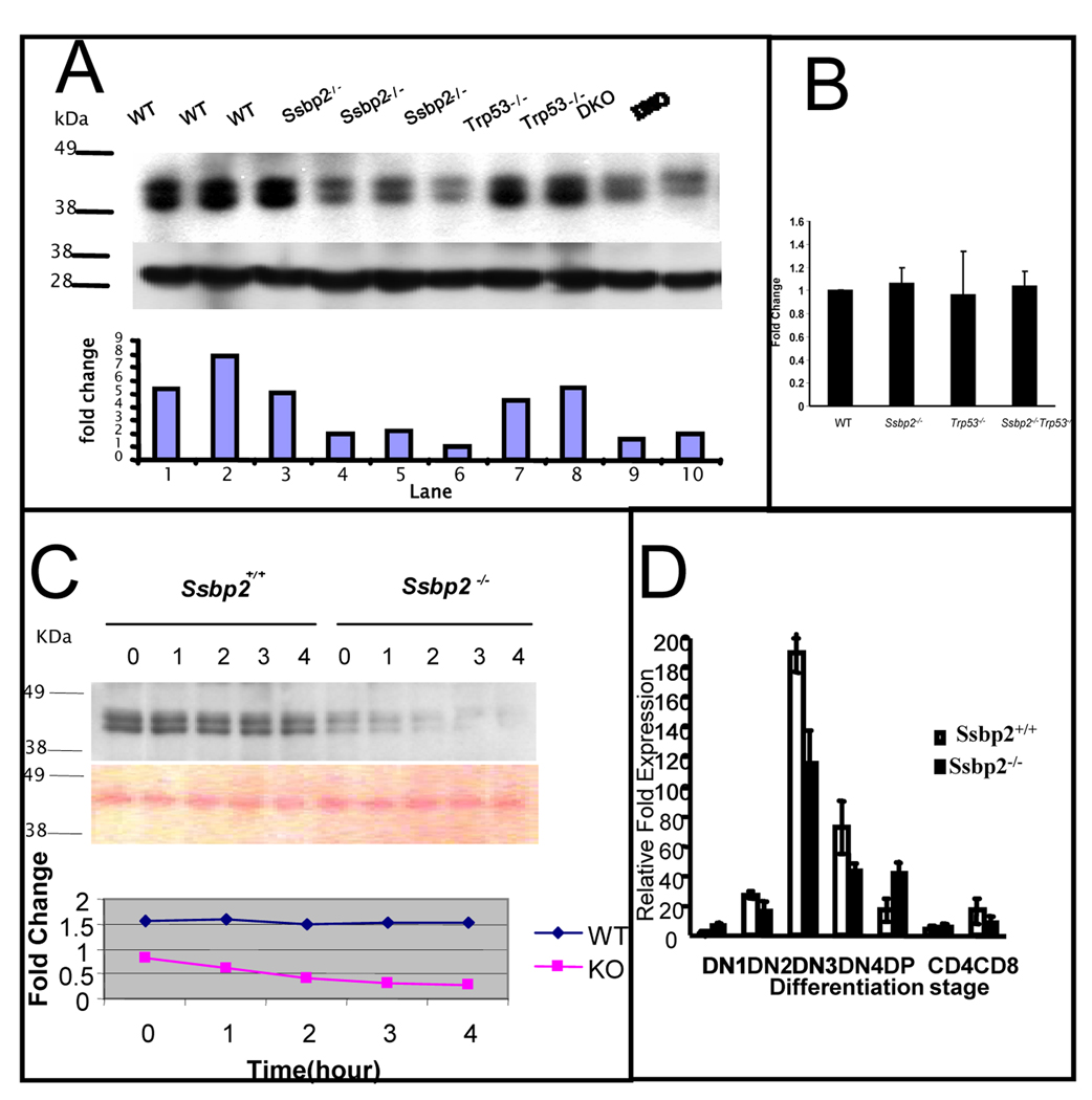 Decreased LDB1 half life in Ssbp2 −/− thymocytes underlies impaired T cell differentiation (A) LDB1 levels are decreased in the thymi of Ssbp2 −/− mice. Nuclear proteins from 4 weeks old wild type, Ssbp2 −/− , Trp53 −/− and Ssbp2 −/− Trp53 −/− mice thymi were separated on a 4–12% NuPage gel, transferred to nitrocellulose and probed with Ldb1 antibody. Lower panel shows Ponceau staining to denote equal loading. The signals were analyzed by IMAGE analysis software and the ratio for each sample is denoted. Representative samples from triplicate experiments are shown. (B) Ldb1 transcript levels are not altered in Ssbp2 −/− thymocytes Ssbp2 transcripts in four weeks old thymi were estimated by Real-time PCR. Results show that Ldb1 transcript levels were similar between all the four genotypes tested. Data represent average of two separate experiments each with triplicate reactions. (C) LDB1 half life is shortened in the absence of Ssbp2 Short term cultured thymocytes from wild type and Ssbp2 −/− mice were treated with cycloheximide for the indicated lengths of time and whole cell lysates isolated were examined for LDB1 levels by immunoblotting. Protein loading was quantified by Ponceau staining. The signals were analyzed by IMAGE analysis software and the ratios at various time points plotted to determine LDB1 half life. (D) preTα expression is decreased in Ssbp2 −/− thymus. Thymocytes from four weeks old mice were divided into seven subsets based on maturity. Real-time PCRs were performed on purified cell populations using specific primers for pTα. For each cDNA pool, transcript levels were normalized against 18sRNA within that sample. Two separate experiments, each with triplicate reactions were done.