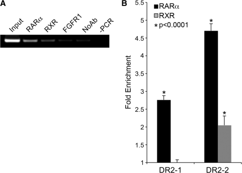 RARα and RXR occupy the novel intronic element in vivo . MCF-7 cells grown in DMEM were treated with 1 µM tRA and used for ChIP analysis using RARα and RXR specific antibodies. ( A ) DNA isolated from immunocomplexes was used as a template for PCR amplification using primers specific for DR2-2. PCR products were resolved on a 2% agarose gel (containing Ethidium bromide) and visualized on a UV transilluminator, RARα; anti-RAR-α Ab precipitated DNA, RXR; anti-RXR Ab precipitated DNA, FGFR1; anti-FGFR1 Ab precipitated DNA, No Ab; bead-only control, and -PCR is a negative control with H 2 O as a template. ( B ) Quantitative PCR was performed using immunoprecipitated DNA using DR2-1 and DR2-2 specific primers. Ct values were normalized to background levels of bead-only controls (No Ab) using 2 (δCt) . Data are represented as fold enrichment compared to IgG control. * P -values were calculated using Student's t -test (average of three experiments) with 95% confidence interval, values