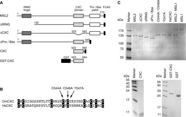 Recombinant MSL derivatives investigated in this study. ( A ) Schematic representation of MSL2 domain organization and various MSL2 expression constructs. All MSL2 constructs contain a C-terminal FLAG tag. Numbers correspond to the amino acid positions in full-length MSL2. ( B ) Alignment of orthologue CXC domains from the Drosophila melanogaster MSL2 protein (DmCXC) and from the H. sapiens protein KIAA1585 (HsCXC). Black boxes highlight the conserved cysteines ( 37 ). Arrows indicate the introduced point mutations. ( C ) Coomassie-stained SDS–polyacrylamide gel of purified recombinant MSL proteins.