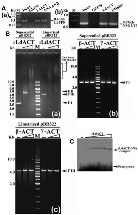 ( A ) ChIP analysis using anti-rLdACT antibodies showed the in vivo association of LdACT with chromatin and kDNA network. ( a ) and ( b ) are the agarose gels of PCR products after ChIP assay, showing the association of LdACT with nuclear DNA and kDNA, respectively. Lanes are marked on the top with their respective antibodies used in the ChIP assay and arrows indicated the genes amplified after pull down. An irrelevant, non-DNA associating antibody, GRP78, was used as a negative control, whereas, antibodies against DNA polβ, and UMSBP (universal minicircle sequence-binding protein), were used as positive controls for nuclear DNA and kDNA respectively. LdPFN, Leishmania profilin; NM12/17, specific minicircle primers. ( B ) Agarose gel shift assay of supercoiled and linearized pBR322 (400 ng each) in the presence of rLdACT (0.5 2.0 μM), and β- and γ-actins (0.5 2.0 μM) as indicated on the top of the gels. Lane M, shows 1 kb DNA ladder; FI: supercoiled form, FII: relaxed form, FIII: linearized form of DNA. ( C ) Autoradiogram of EMSA on polyacrylamide gel of 32 P end-labelled 30 bp DNA probe in the presence of increasing concentration of rLdACT (0.1–0.6 μM).