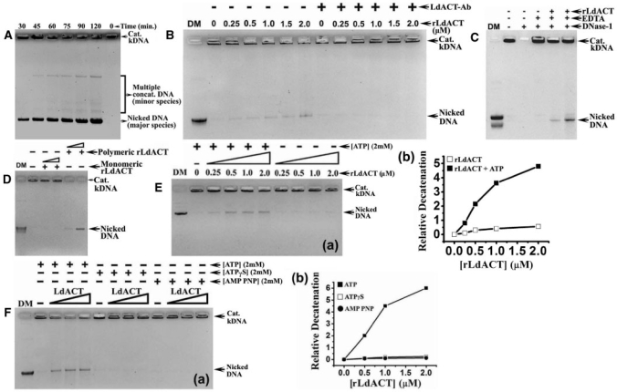 ( A ) Agarose gel (0.5%), showing the time dependent nicking of kDNA by rLdACT (4.0 μM) which revealed the existence of major nicked DNA and minor concatenated minicircle species. ( B ) Agarose gel, showing rLdACT mediated decatenation of the kDNA network in the presence or absence of anti-rLdACT antibodies. DM, decatenated kDNA marker (Topogen). ( C ) Agarose gel (1.0%), showing rLdACT mediated decatenation of kDNA network with rLdACT in the presence or absence of DNase-1 and its inhibitor EDTA, which completely rules out the possibility of DNA nicking by some contaminating nuclease. ( D ) Agarose gel (1.0%), showing requirement of rLdACT in its polymeric state for its kDNA decatenation activity. ( E ): ( a ), Agarose gel (1.0%), showing requirement of ATP in the rLdACT mediated kDNA decatenation process. ( b ), Graph, showing ATP dependence of rLdACT-mediated kDNA decatenation. ( F ) ( a ), Agarose gel (1.0%), showing rLdACT-mediated decatenation of kDNA in the presence of non-hydrolysable analogs of ATP. ( b ) Graph, showing relative inhibition of rLdACT mediated decatenation of kDNA network in the presence of non-hydrolysable ATP analogs when plotted with the increasing concentration of rLdACT.