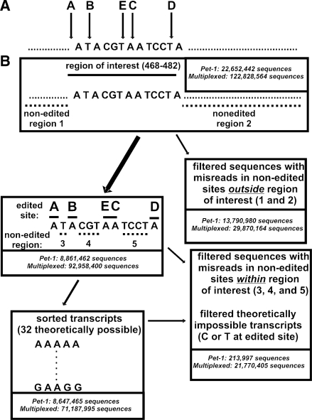 Schematic of the ultra HTS strategy used to measure RNA editing. ( A ) A representative full-sequence read with the five edited sites labeled. Guanosines at edited sites correspond to inosines in the original RNA transcript from which the sequenced DNA is derived. ( B ) Ultra HTS sequencing produced 22 652 442/122 828 564 sequences. Non-edited region 1 and non-edited region 2 were used to filter sequences with misreads in those regions (13 790 980 sequences). Non-edited regions 3, 4 and 5 were then used to filter the remaining 8 861 462/92 958 400 sequences in a similar fashion to remove the sequences containing misreads in those regions, and theoretically impossible transcripts (in other words, those with a C or T at an edited site) were also filtered (213 997/21 770 405 sequences failed after applying the last two filters), leaving 8 647 465/71 187 995 sequences used for subsequent analysis.