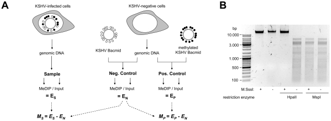 Experimental design of MeDIP analysis. A : Schematic representation of the experimental setup for the analysis of CpG methylation patterns. The KSHV episome in infected cells is expected to be partially methylated, as indicated by black and white circles which symbolize methylated or unmethylated CpG dinucleotides, respectively. Genomic DNA was isolated from such cells and the samples were subjected to immunoprecipitation using a methylcytidine specific antibody (MeDIP procedure), followed by hybridization of the precipitated samples versus the input on tiling microarrays. For each probe, an enrichment score E S was calculated, which represents the ratio of MeDIP over input fluorescence signals. The efficiency of the immunoprecipitation depends on the total number of methylated CpG motifs in a given fragment and E S is thus a function of the extend of methylation as well as local CpG frequencies. Therefore, to obtain reference values which signify maximum methylation for each probe, we generated a positive control by subjecting KSHV bacmids to CpG methylation in vitro . The bacmid was mixed with cellular DNA to simulate the host background and subjected to the same MeDIP procedure as samples from infected cells. Similarly, a negative control of unmethylated bacmid was prepared to control for cross-hybridization of unspecific background. After normalization of the array data using a spike-in control (see Material Methods for details), background-corrected methylation values M S and M P were calculated for each probe by subtraction of the corresponding negative control value. B : Confirmation of successful in vitro methylation of KSHV bacmids used as a positive control. A bacmid carrying the complete KSHV genome (BAC36 [36] ) was methylated using M.SssI, a methyltransferase specific for CpG dinucleotides. Methylated or unmethylated bacmids were subjected to restriction digestion using the methylation sensitive enzyme HpaII and its isoschizomer MspI, which cuts regardless of methylation. Methylated bacmids were resistant to HpaII digestion, signifying complete methylation.