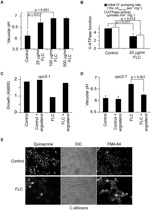 Fluconazole treatment disrupts V-ATPase function. (A) Vacuolar pH of WT (BY4742) cultures treated with fluconazole at specified concentrations for 6 hours in YPD. (B) Proton pumping rate and ATPase activity of WT (BY4742) cultures treated with or without fluconazole for 6 hours in YPD. Three independent batches of vacuolar vesicles were isolated and used to assay V-ATPase function. Cultures of upc2-1 mutant, WYP361, were treated with fluconazole (100 µg/ml), ergosterol (50 µM) or their combination at OD 0.1. Growth (C, representative of three independent experiments) was assessed at 8 hour post-treatment, and vacuolar pH (D) was assessed at 6 hour post-treatment. (E) WT C. albicans cells (SC5314) were grown in YPD with or without fluconazole for 5 hours. FM4-64 was added to the cultures to stain vacuoles for 30 min. Cells were chased with fresh YPD with or without fluconazole for 20 min followed by quinacrine addition for another 5 min. Fluorescence microscopic images of the cells were taken immediately after washing. Means and standard deviations are plotted. p values of two-tailed t-test are shown.