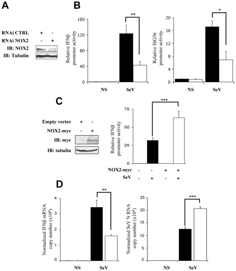 Interference with NOX2 expression inhibits SeV-induced IFNβ and IFIT1 genes transactivation. ( A and B ) A549 cells were transfected with control- (CTRL; black bars) or NOX2-specific (white bars) RNAi oligonucleotides. ( A ) Efficiency of NOX2 knock down was monitored by immunoblot (IB) using anti-NOX2 antibodies. Anti-tubulin antibodies were used to control equal loading. ( B ) At 48h post-RNAi transfection, cells were further transfected with the IFNβ-pGL3 or ISG56-pGL3 firefly luciferase and the pRL-null renilla luciferase (internal control) reporter constructs and either left uninfected (NS) or infected with SeV (80 HAU/10 6 cells). Luciferase activities were measured and expressed as described in Figure 1 . ( C ) A549 cells were cotransfected with an empty control plasmid (black bars) or the myc-tagged-NOX2 (white bars) encoding plasmid and the IFNβ-pGL3 firefly luciferase and the pRL-null renilla luciferase (internal control) reporter constructs. At 16h post-transfection, cells were left unstimulated or infected with SeV for 8h and luciferase activities were measured and analyzed as described above. ( D ) Total RNA extracted from CTRL (black bars) and NOX2 RNAi (white bars)-transfected A549 either left uninfected (NS) or infected with SeV (5 HAU/10 6 cells) for 5 hours were analyzed by reverse transcription and real-time PCR using IFNβ-, SeV N, and S9-specific primers. IFNβ mRNA levels are presented as absolute copy numbers normalized versus S9 mRNA used as a reference. SeV N fold expression values were determined using the ΔΔC t method as described in Material and Methods .(*, p