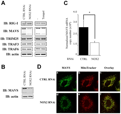 NOX2 downregulation or ROS scavenging diminishes MAVS mRNA expression without affecting its subcellular localization. ( A, B ) WCE derived from A549 ( A ) and NHBE ( B ) cells transfected with control (CTRL) or NOX2 RNAi or treated with vehicle or 3mM Tempol were analyzed by immunoblot using anti-RIG-I, anti-MAVS, anti-TRIM25, anti-TRAF3, anti-TRAF6 and anti-actin antibodies. MAVS was detected as two different splice variants as described in [66] . Representative immunoblots of at least three different experiments are shown. ( C ) Total RNA extracted from A549 transfected with CTRL and NOX2 RNAi were analyzed by real time PCR as described in Figure 1 . MAVS mRNA levels are expressed as absolute values after normalization to S9 mRNA used as a reference gene. (*, p