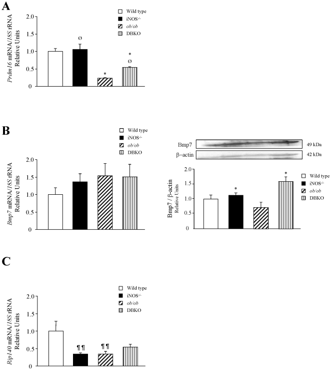 Expression of genes involved in brown fat differentiation. Gene expression levels of Prdm16 (A), Bmp7 (B) and Rip140 (C). Data were normalized for the expression of <t>18S</t> <t>rRNA</t> and gene expression levels in wild type mice were assumed to be 1. Values are the mean ± SEM (n = 6 per group). Protein levels of Bmp7 are also shown (B). Protein data were normalized for the expression of β-actin. Differences between groups were analyzed by two-way ANOVA. * p
