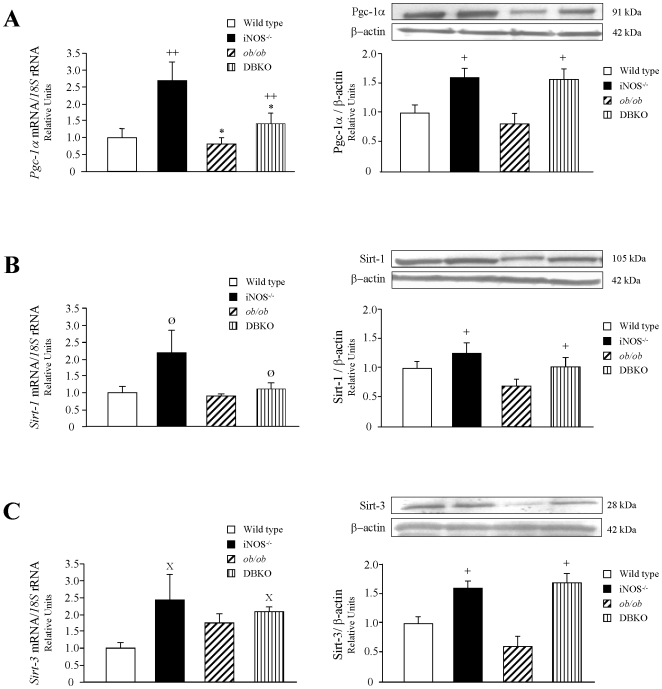 Effect of the lack of both genes on molecules involved in the regulation of thermogenesis. Bar graphs show the transcript and protein levels of peroxisome proliferator-activated γ coactivator-1 α (PGC-1α) (A), sirtuin-1 (SIRT1) (B), and sirtuin-3 (SIRT3) (C) in BAT of experimental animals. mRNA and protein data were normalized for the expression of 18S rRNA and β-actin, respectively. The expression in wild type mice was assumed to be 1. Representative blots are shown on the top of the histograms. Values are the mean±SEM (n = 6 per group). Differences between groups were analyzed by two-way ANOVA. * p