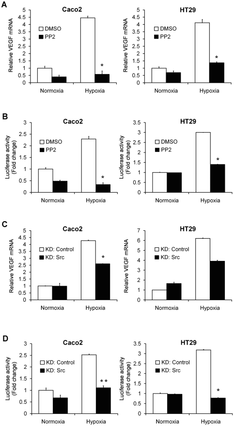 Induction of VEGF under hypoxic conditions is suppressed by inhibition of c-Src. A and C , Relative mRNA levels of VEGF, as evaluated by quantitative RT-PCR, in Caco2 and HT29 cells pretreated with 10 µM PP2 ( A ) or transiently transfected with a Src-specific siRNA construct ( C ), and exposed to normoxia or hypoxia for 24 hours. The data are expressed as fold change as compared to control cells in normoxia, normalized to 1. *, P