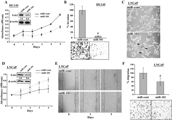 Effects of miR-101 on DU-145 and LNCaP cells . A and B. Effects of ectopic miR-101 on the proliferation and invasiveness of DU-145 cells. DU-145 cells were transfected by 120 nM of miR-cont or miR-101 mimics and cells were collected at 72 h <t>post-transfection.</t> Aliquots of the cells of each treatment were studied in triplicates by ( A ) WST-1 cell proliferation assay and ( B ) Matrigel invasion assay. Western blot analyses of these transfected cells are shown as an insert of