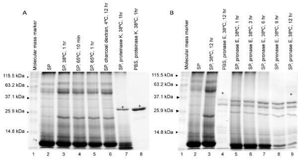 Llama seminal plasma protein separation on SDS-PAGE after exposure to different treatments in Experiment 2 (A) and Experiment 3 (B) . Seminal plasma samples were reduced, denatured, and separated on 12% polyacrylamide gel and stained with Coomassie Blue R-250.  A)  Lane 1 was loaded with a molecular mass standard. The remaining lanes were loaded with 20 μg of seminal plasma (SP): Lane 2 - non-treated SP; Lane 3 - SP kept at 38°C for 1 hour; Lane 4 - SP heated to 65°C for 10 min.; Lane 5 - SP heated to 65°C for 1 hour; Lane 6 -- SP treated with charcoal dextran at 4°C for 12 hours; Lane 7 -- SP treated with proteinase K (500 μg/ml) at 38°C for 1 hour; Lane 8 -- phosphate buffered saline (PBS) plus proteinase K (500 μg/ml) at 38°C for 1 hour; * Protein band represents proteinase K.  B)  Lane 1 was loaded with a molecular mass standard. The remaining lanes were loaded with 30 μg of seminal plasma: Lane 2 - non-treated seminal plasma (SP); Lane 3 - SP kept at 38°C for 12 hours; Lane 4 - phosphate buffered saline (PBS) plus pronase E (500 μg/ml) at 38°C for 1 hour; Lane 5, 6, 7, 8, 9 - Seminal plasma treated with pronase E (500 μg/ml) at 38°C for 1, 3, 6, 9 or 12 hours, respectively. * Protein bands represent pronase E.