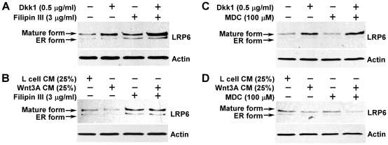 Effects of Filipin III and monodansylcadaverine on LRP6 turnover. HT1080 cells stably transduced with HA-tagged LRP6 were incubated with 0.5 µg/ml of recombinant Dkk1 protein (A, C) or 25% of Wnt3A CM (B, D), and treated with Filipin III (3 µg/ml) (A, B) or monodansylcadaverine (MDC) (100 µM) for 24 h. The level of LRP6 was then examined by Western blotting with the anti-HA antibody. Samples were also probed with the anti-actin antibody to verify equal loading.