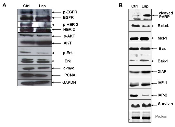 Intracellular signaling changes induced by lapatinib in A549 cells, analyzed by western blot . A . Immunoblots showing decreased levels of p-EGFR and p-HER-2 after stimulation with 100 ng/ml EGF and treatment with lapatinib. Downstream targets p-AKT, p-ERK1/2, c-Myc and PCNA were also reduced upon exposure to the drug. B . After lapatinib treatment, the proapoptotic protein Bak-1 was increased, the levels of the antiapoptotic proteins IAP-2 and Bcl-xL were reduced, and PARP was cleaved, thus demonstrating that the apoptotic pathway is switched on by this drug in A549 lung cancer cells.
