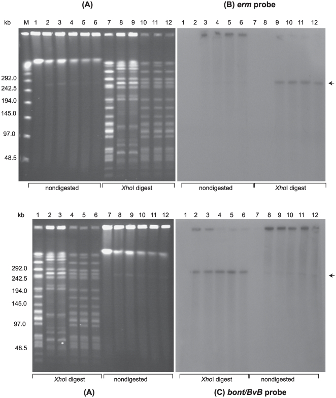 Confirmation of plasmid pCLJ-Erm transfer from C. botulinum strain 657BaCT4 to strain LNT01. ( A ) Ethidium bromide stained PFGE of C. botulinum strains: LNT01 (Lanes 1 and 7), wild type strain 657Ba (Lanes 2 and 8); 657BaCT4 (Lanes 3 and 9) and LNT01 transconjugants (pCLJ-Erm) (Lanes 4–6 and 10–12); Lanes 1–6, nondigested DNA samples; Lanes 7–12, Xho I digested DNAsamples. Lambda PFG Marker (Lane M), New England Biolabs. The position of the pCLJ plasmid is indicated with an arrow. Southern hybridization with: ( B ) the ermB probe and ( C ) the bont/bvB probe. PFGE conditions: 6V/cm, 12°C, 1–26 s pulse time, 24 h.