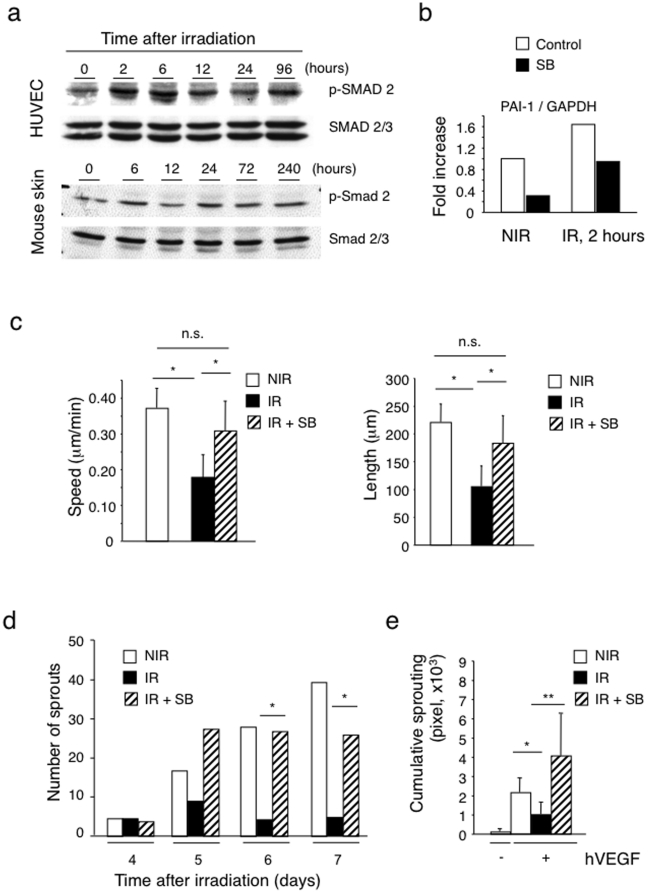 Radiation activates the TGF-βRI/ALK5 pathway and ALK5 inhibition prevents radiation-induced suppression of migration and sprouting. (a) Increased Smad2 phosphorylation in irradiated cultured HUVEC and mouse skin (15 Gy and 20 Gy respectively) demonstrated by Western blotting analysis. Induction of p-Smad2 was biphasic with early peaks at 2–6 hours and late peaks at 24–96 hours. (n = 3). (b) Radiation induces the TGF-β pathway target PAI-1 gene in HUVEC. HUVEC were treated with the ALK5 inhibitor SB431542 at 10 µM one day before radiation. RNA was extracted before and 2 hours after irradiation and PAI-1 mRNA quantified by real time RT-PCR. (c) The ALK5 inhibitor SB431542 (SB) rescued the migration defects caused by radiation. Left panel: migration speed; right panel: migration distance. (n = 10) * P