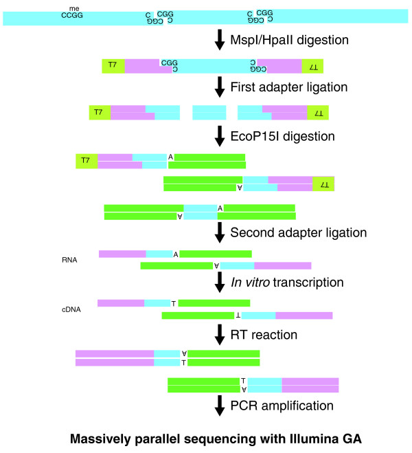HELP-tagging assay design and library preparation . The genomic DNA is digested by HpaII or MspI, the former only cutting at CCGG sequences where the central CG dinucleotide is unmethylated. The first Illumina adapter (AE) is ligated to the compatible cohesive end created, juxtaposing an EcoP15I site beside the HpaII/MspI digestion site and allowing EcoP15I to digest within the flanking DNA sequence as shown. An A overhang is created, allowing the ligation of the second Illumina adapter (AS, green). This will create not only AE-insert-AS products but also AS-insert-AS molecules. By performing a T7 polymerase-mediated in vitro transcription from a promoter sequence located on the AE adapter, we can selectively enrich for the AE-insert-AS product, following which limited PCR amplification is performed to generate a single sized product for Illumina sequencing. RT, reverse transcription.