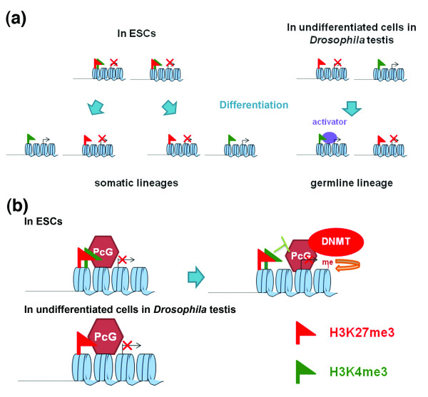 Cartoons comparing ESCs and undifferentiated cells of bam testis . (a) During ESC differentiation, bivalent genes resolve into monovalent genes according to cell type specificity in somatic lineages. In the Drosophila male germline lineage, monovalent genes in undifferentiated cells may either retain their chromatin signature or switch to another pattern. Differentiation genes that are required for spermatogenesis require additional activation mechanisms to turn on their expression robustly, in addition to the removal of the repressive H3K27me3 mark. (b) A potential molecular mechanism that renders the bivalency and poised status dispensable in the Drosophila germline stem cell lineage, due to the lack of endogenous DNA methylase activity. DNMT, DNA methyltransferase.