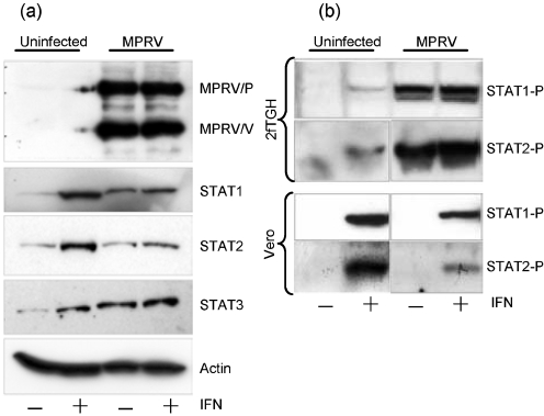STATs in the presence of MPRV/V. (a) STAT degradation. 2fTGH cells were infected with MPRV strain BeAnn 370284 at 10 m.o.i. or mock-infected. They were stimulated with 3.2×10 4 U human IFN α ml −1 at 16 h p.i. or left untreated. At 25 h p.i., the cells were harvested and the lysates were analysed by Western blot probed with monoclonal antibodies against human STAT1, STAT2, STAT3 and cellular actin, as well as with an antiserum raised against the P and V proteins of MPRV. More than 95 % of the cells were infected at the time of harvest, as determined by immunofluorescence. (b) STAT phosphorylation. 2fTGH and Vero cells were infected as above and stimulated for 20 min with 2.5×10 3 U human IFN- α ml −1 at 22 h p.i. or left untreated. Cells lysates were analysed by Western blot probed with antibodies against human Tyr701-phosphorylated STAT1 or Tyr689-phosphorylated STAT2.