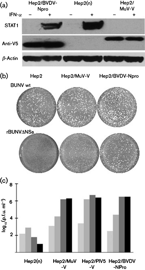 Characterization of Hep2 cells that constitutively express the V protein of MuV Enders. (a) STAT1 is degraded in cells that constitutively express MuV-V. Naïve Hep2, Hep2/BVDV-Npro and Hep2/MuV-V cells were or were not treated with IFN- α [Roferon A (Roche) 1000 IU ml −1 ] for 18 h and STAT1 was detected by immunoblot analysis. BVDV-Npro and MuV-V had N-terminal or C-terminal V5 tags, respectively, and their presence was detected by an anti-V5 tag antibody; β -actin acted as a loading control. (b) Unlike wild-type Bunyamwera virus (BUNV wt), which forms plaques in naïve Hep2, Hep2/MuV-V and Hep2/BVDV cells, a recombinant Bunyamwera virus that does not encode the NSs protein, termed rBUNVΔNSs, does not form plaques in naïve Hep2 cells but does plaque Hep2/MuV-V and Hep2/BVDV cells. Plaques shown are 4 days p.i. (c) The ability of naïve Hep2, Hep2/MuV-V, Hep2/PIV5-V and Hep2/BVDV-Npro cells to support the replication of MuV was compared. Cells were infected at an m.o.i. of 0.01 p.f.u. per cell and the amount of infectious virus in the culture medium was titrated at 2, 4, 6 and 8 days p.i. (light, medium and dark grey, and black, respectively).