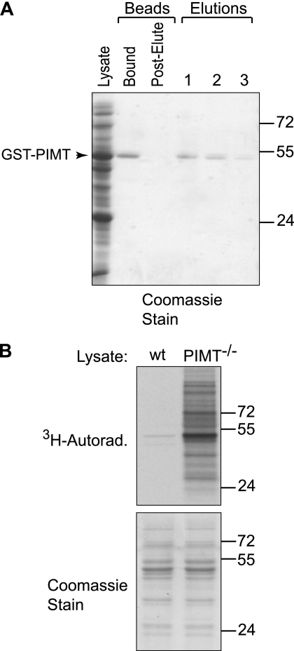 Purified GST-tagged PIMT exhibits methyltransferase activity toward isoaspartyl residues in PIMT−/− brain lysates. A , expression and purification of N-terminal GST-tagged PIMT is depicted. Human PIMT was expressed in E. coli as a fusion to N-terminal GST. Protein was purified on glutathione-Sepharose 4B resin and eluted in three fractions with 10 m m glutathione. The crude lysate, glutathione resin before and after elution, and three elutions were resolved by 10% SDS-PAGE, and proteins were visualized with Coomassie Brilliant Blue stain. The first two elutions were pooled and stored until use. B , GST-PIMT catalyzes the transfer of methyl groups from 3 H-labeled AdoMet to isoaspartyl residues accumulated in PIMT−/− brain lysates. 40 μg of wild type ( wt ) or PIMT−/− lysates were incubated with 2.5 μ m GST-PIMT and 100 μ m AdoMet (4 μCi 3 H-labeled) in 75 m m Na-MES, pH 6.2, for 15 min at 30 °C. Lysates were separated by 4–12% BisTris PAGE, and gels were processed for tritium detection.