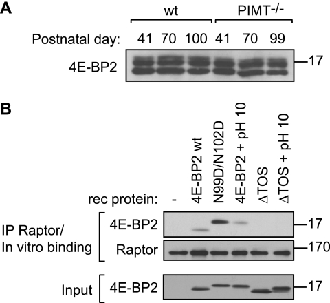 Accumulation of isoaspartyl residues in 4E-BP2 in the brain does not alter protein stability but reduces its interaction with raptor relative to 4E-BP2 N99D/N102D. A , steady-state level of 4E-BP2 is unaffected in PIMT−/− brains as assessed by Western blotting. Brain lysates (30 μg) from wild type ( wt ) or PIMT−/− mice of indicated ages were resolved by 15% SDS-PAGE. B , isoaspartyls in 4E-BP2 are detrimental to the enhanced association of deamidated 4E-BP2 with raptor. Raptor was immunoprecipitated ( IP ) from 4E-BP2−/− murine brain, and the resulting immune complex immobilized on Protein G-Sepharose resin was incubated with the indicated recombinant 4E-BP2 protein ( rec. protein ) variants. Bound complexes were separated by SDS-PAGE (5–20%). Here, pH 10 treatment of 4E-BP2 protein was for 72 h. This longer treatment induces a single, isoaspartyl-containing (double-deamidated) form for wild type 4E-BP2. The 4E-BP2 C-terminal TOS motif is required for raptor binding; 4E-BP2 variants lacking this sequence do not bind raptor thereby serving as negative controls for the binding assay.